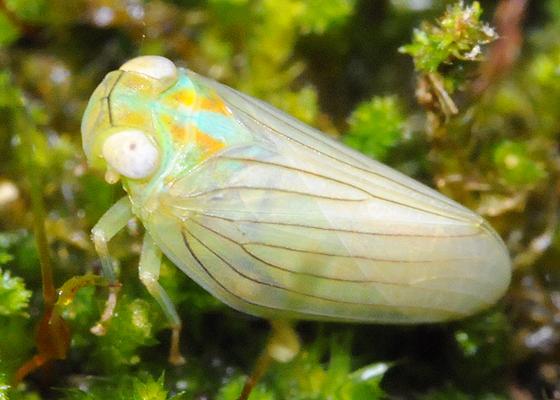 Planthopper (Thionia simplex?) - Aplos simplex
