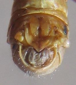 Melanoplus bowditchi - male