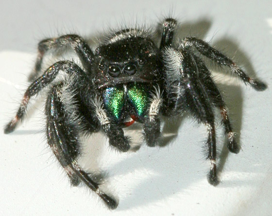 jumping spider phidippus audax male