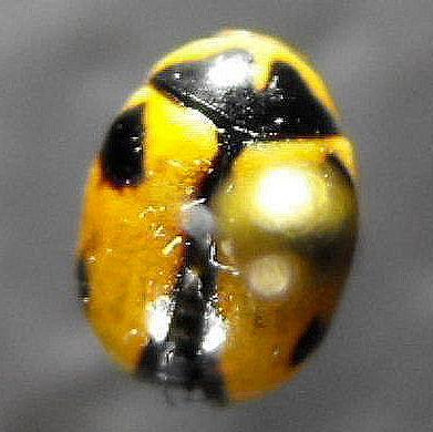 Coccinellid - Brachiacantha albifrons