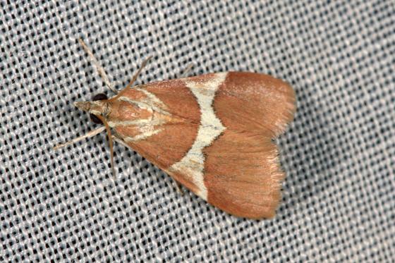 Moth - Jativa castanealis