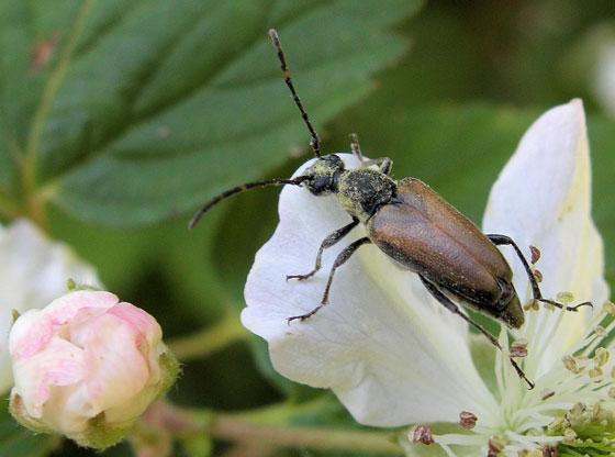 Unknown bug  2 on Dewberry Blossom - Brachyleptura circumdata