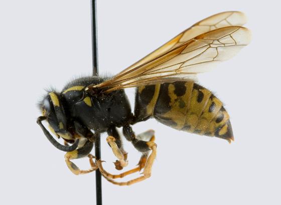Vespula austriaca - Vespula infernalis - female