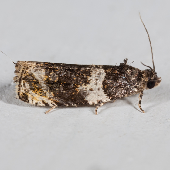 Banded Olethreutes Moth - Olethreutes fasciatana