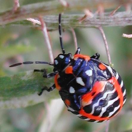 Halloween Beetle? - Murgantia histrionica