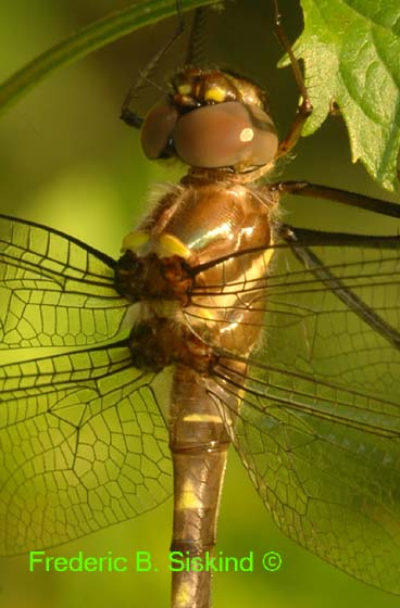 Newly emerged dragonfly closeup (DDF176B) - Macromia illinoiensis