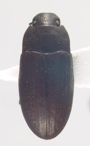 Tenebrionidae, dorsal - Blapstinus metallicus