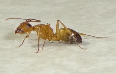 Bicolored Ant - Camponotus