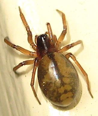 Grammonota gentilis - female