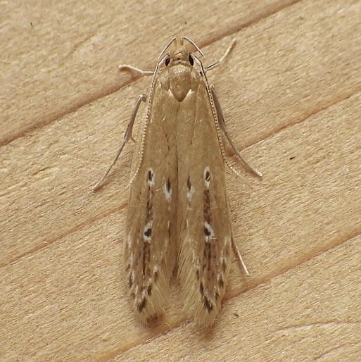 Cosmopterigidae: Limnaecia phragmitella - Limnaecia phragmitella