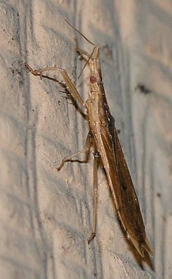 Assassin Bug - Pnirontis modesta