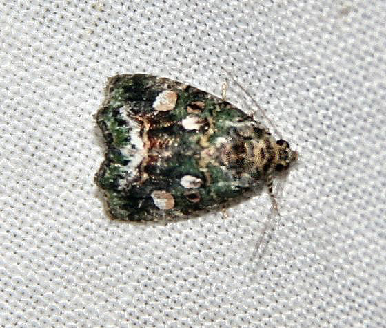 Unknown moth from Blacklighting - Lithacodia musta