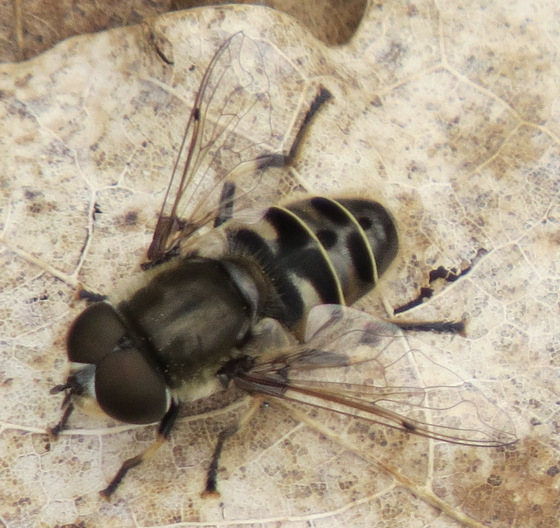 Hoverfly - Eristalis dimidiata