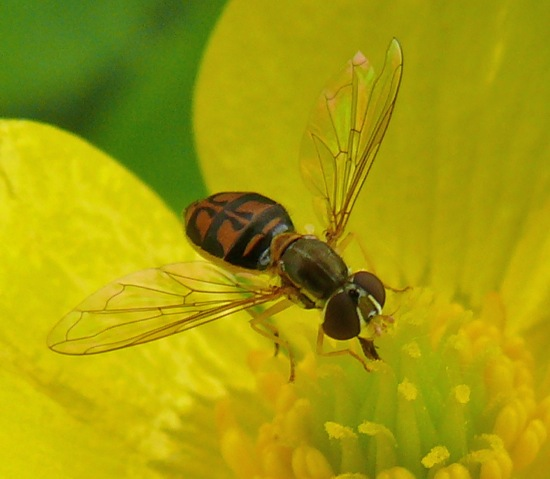 Syrphid fly on buttercup - Toxomerus marginatus - female