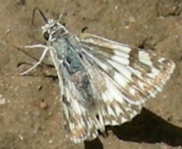 Northern White Skipper ? - Heliopetes ericetorum - female