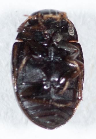 Hydrophilidae - Cercyon praetextatus