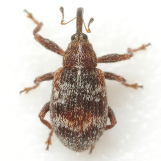 Anthonomopsis mixta (LeConte) - Anthonomopsis mixta