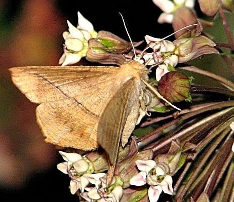 Is this a Confused Eusarca or Maple Spanworm Moth ? - Eusarca