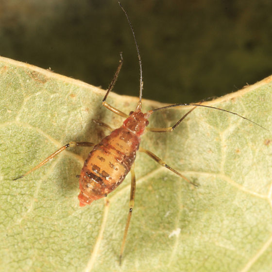 aphid on birch - Calaphis