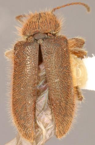 Acromacer bombifrons (LeConte) - Acromacer bombifrons