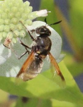 Soldier fly - Hoplitimyia mutabilis