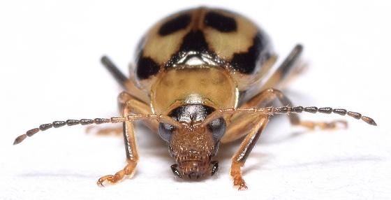 Cerotoma trifurcata