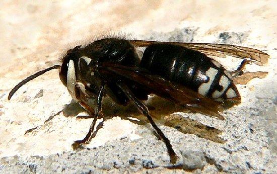 Baldfaced Hornet - worker - Dolichovespula maculata - female