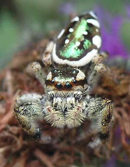 Spider - Paraphidippus aurantius