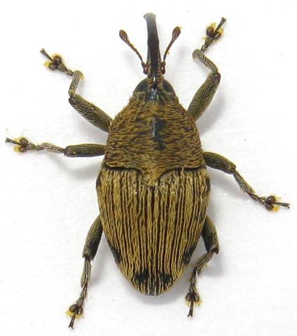 small weevil - Geraeus penicillus