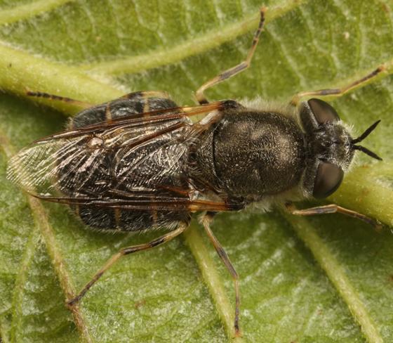 soldier fly - Odontomyia pilosa - female