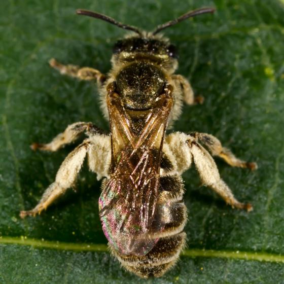 Unknown Bee - Halictus confusus - female