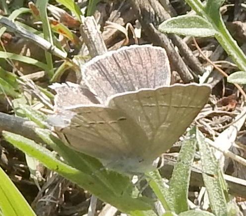 Butterfly - Strymon melinus