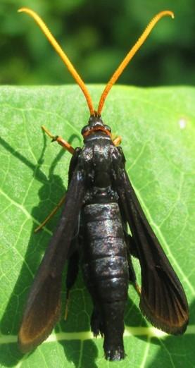 moth - Alcathoe caudata