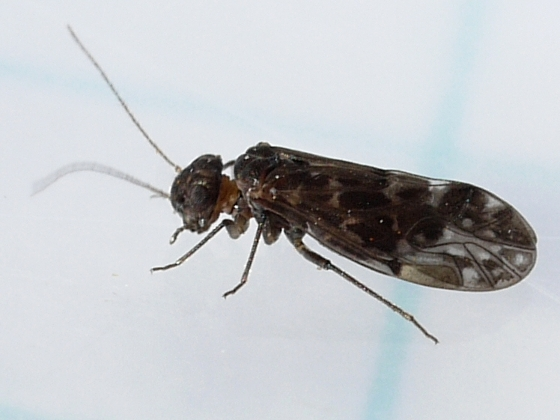 Barklouse - Peripsocus madescens