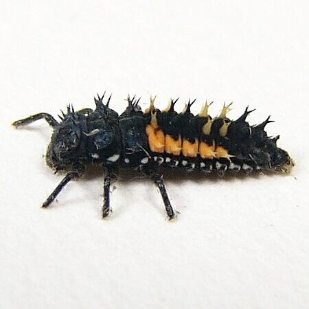 Small Buggy Thing - Harmonia axyridis