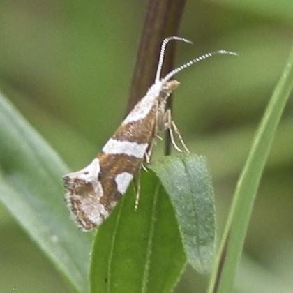 Plutella (Greya) vanella - Eidophasia vanella