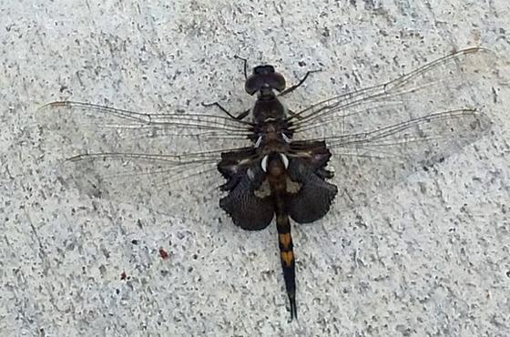 Swarming Dragonfly - Tramea lacerata