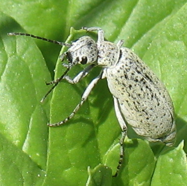 Soft bodied, winged, bluish white bugs with yellow tint, on my spinach plants - Epicauta maculata