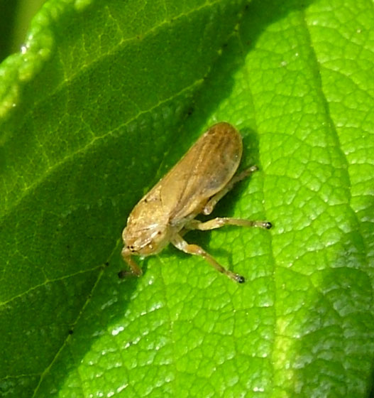 Another Meadow Spittlebug color form for Washington - Philaenus spumarius