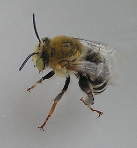Cute as a...bee - Anthophora californica