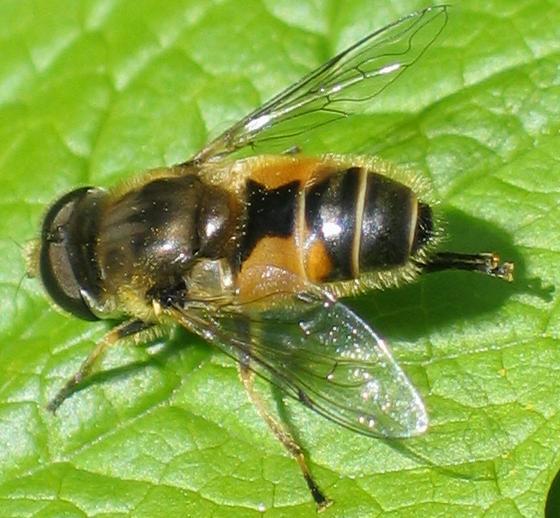 hourglass flower fly - Eristalis arbustorum - male