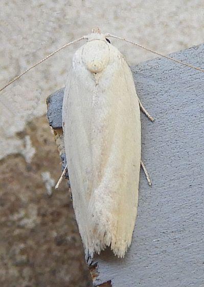 Arizona Moth - Antaeotricha