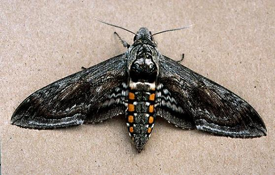 fivespotted hawkmoth or tomato hornworm manduca