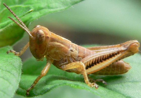 Differential Grasshopper Nymph - Melanoplus differentialis - male