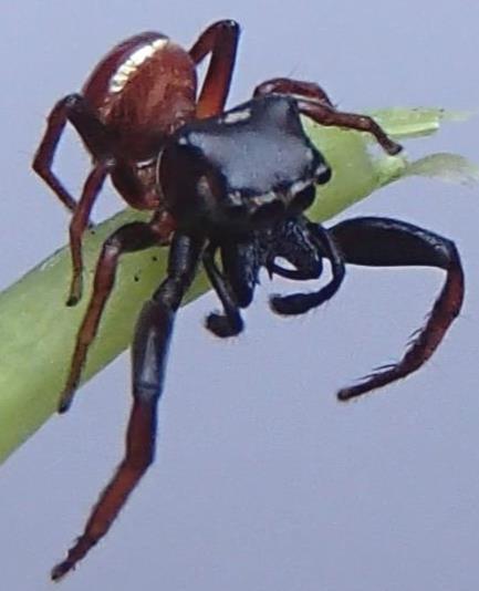 Jumping spider. - Zygoballus sexpunctatus - male