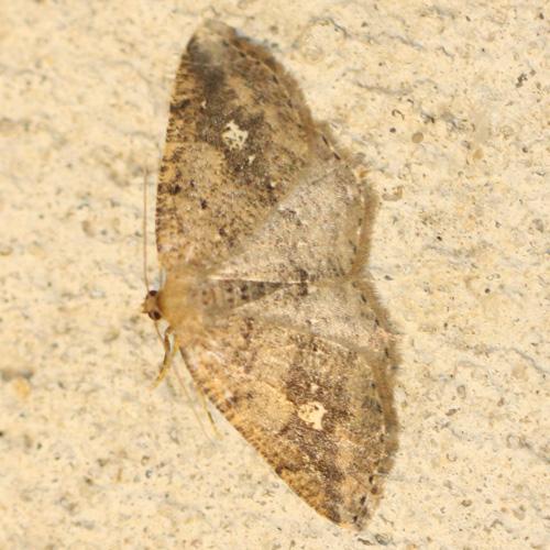 moth - Homochlodes lactispargaria
