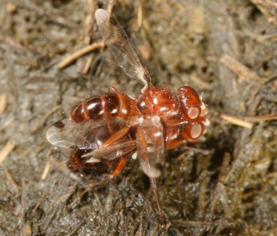 Fly 13 - Omomyia