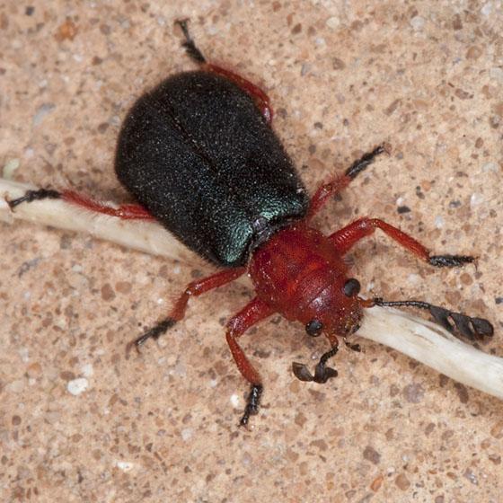 Beetle IMG_8358 - Chariessa elegans