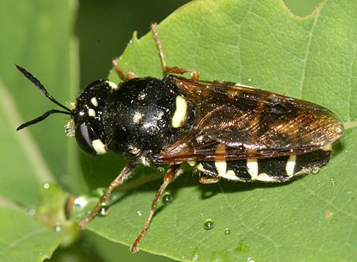 Soldier Fly - Stratiomys badia - female