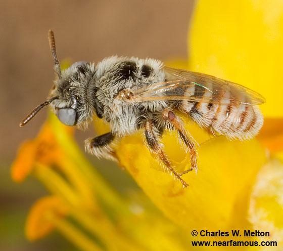 Perdita sp.? - Calliopsis - female
